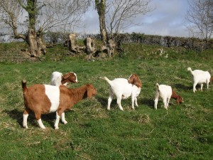 Some of the new Boer goats
