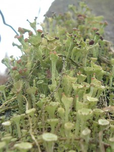 Lichen with fruiting bodies