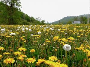 dandelion-fiels-freeimages-live
