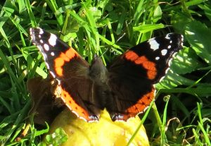 Red admiral - telling us the apples are ready!