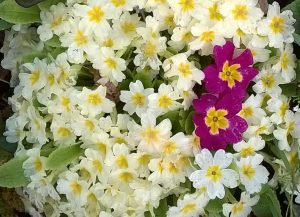 primroses-with-red