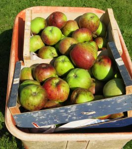 wheelbarrow-apples